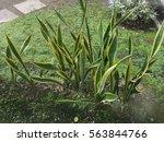 Sansevieria Trifasciata  Also...