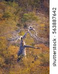 Small photo of Baobab tree in Kruger national park, South Africa ; Specie Adansonia digitata family of Malvaceae