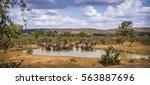african buffalo in kruger... | Shutterstock . vector #563887696