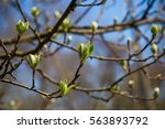 Spring Bloom On Tree Branches...