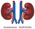 kidneys of healthy person.... | Shutterstock .eps vector #563910346