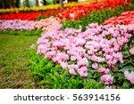 pink cyclamen flower garden | Shutterstock . vector #563914156