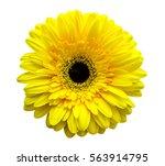flower yellow gerbera isolated... | Shutterstock . vector #563914795