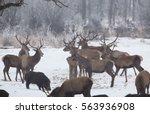 Red Deer Herd And Wild Boars...