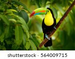 Keel-billed Toucan, Ramphastos sulfuratus, bird with big bill sitting on the branch in the forest, Boca Tapada, green vegetation, Costa Rica. Nature travel in central America.