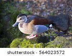 Male Ringed Teal Duck