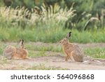 Stock photo european brown hare lepus europaeus 564096868
