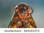 Tiger Moth Face And Front...