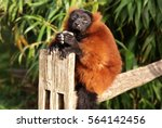 Stock photo funny red ruffed lemur tries to sleep 564142456
