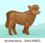 fluffy highland calf breed