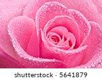 Close Up Of Pink Rose Petails...