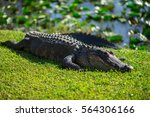 Florida Alligators In...