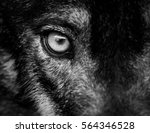 eye of iberian wolf  canis... | Shutterstock . vector #564346528