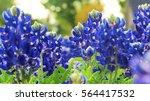 Closeup Of Texas Bluebonnets I...