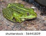 common frog  rana temporaria ...   Shutterstock . vector #56441839