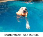 swimming white labrador with... | Shutterstock . vector #564450736