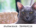 close up portrait of silver... | Shutterstock . vector #564464116
