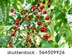coffee beans ripening on a tree. | Shutterstock . vector #564509926
