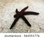 Small photo of Echinoderm (star fish) was found at the bottom of the sand in redang island, Malaysia