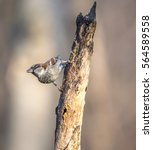 house sparrow  passer... | Shutterstock . vector #564589558