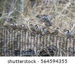 house sparrow  passer... | Shutterstock . vector #564594355