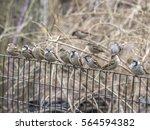 house sparrow  passer... | Shutterstock . vector #564594382