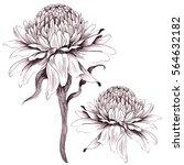 ginger flowers on on a white... | Shutterstock . vector #564632182