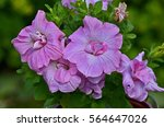 Close Up Of A Double Petunia ...