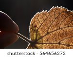 man holding frozen leaf with... | Shutterstock . vector #564656272