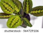 maranta tricolor isolated on... | Shutterstock . vector #564729106