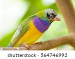 Small photo of a colorful bird amadina Gouldian finch (Erythrura gouldiae), rainbow finch or Lady Gould's finch sitting on a tree branch, species native and endemic to australia