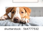 young fawn mixed breed puppy... | Shutterstock . vector #564777532