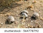 Giant Tortoise Crossing A Dirt...