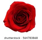Stock photo a red rose head isolated 564783868