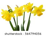 Stock photo spring floral border beautiful fresh daffodils flowers isolated on white background selective 564794056