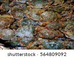 blue swimming crab | Shutterstock . vector #564809092