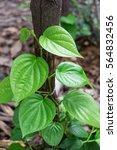 fresh betel leaf  piper betle