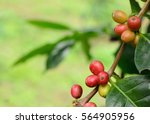 Close Up Bean Coffee On Tree I...