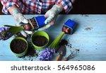 gardeners hand planting flowers ... | Shutterstock . vector #564965086