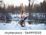 Stock photo nova scotia duck tolling retriever dog portrait on nature 564995035