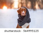 Stock photo nova scotia duck tolling retriever dog wearing a scarf outdoors in the winter 564995125