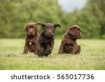 Stock photo one running chocolate labrador puppy and two sitting 565017736