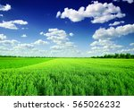 green wheat field   | Shutterstock . vector #565026232