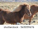 gorgeous icelandic horse... | Shutterstock . vector #565059676