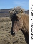 Small photo of Wind blown forelock on an Icelandic horse makes it look like a mohawk.