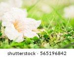 white flowers on the grass.... | Shutterstock . vector #565196842
