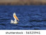 pelican floating on the blue... | Shutterstock . vector #56525941
