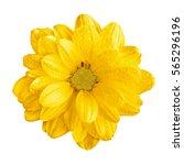 tender natural yellow gerbera... | Shutterstock . vector #565296196