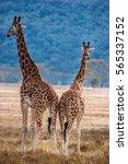Small photo of Giraffe in a shroud of Kenya.