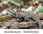 an australian water dragon... | Shutterstock . vector #565342462